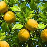 Bloomsz Lemon Tree In Decorative Planter