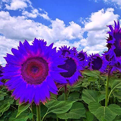 GMNP0di% Sunflower Seeds to Plant Purple Sunflower Seeds Ornamental Plant Home Garden Yard Farm Office Decor Non-GMO Seeds Purple Sunflower Seeds