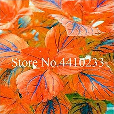 Fotcus 150 Pcs Real Rainbow Coleus Blumei Bonsai, Rare Foliage Blumei Rainbow Mix Color Flower in Bonsai Seedsplants for Home Garden - (Color: n): Garden & Outdoor