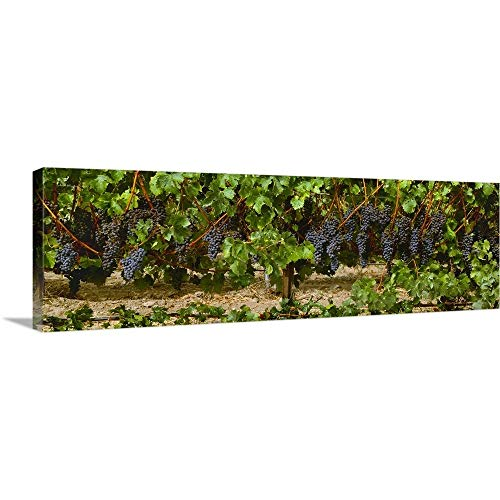 (Clusters of ripe Merlot Grapes on The Vine, Ready for Harvest Canvas Wall Art Print, 36