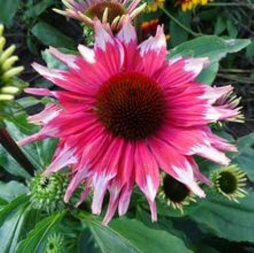 Echinacea Playful Meadow Mama New Unique Coneflower 3'' Pot = 1 Live Potted Plant