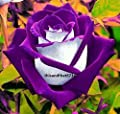 Purple Haze Rose ~ 20 Seeds ~ Rare ~