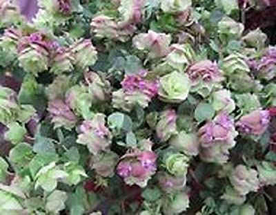 25+ Ornamental Oregano Round-Leaved Origanum Rotundifolia Seeds / Perennial