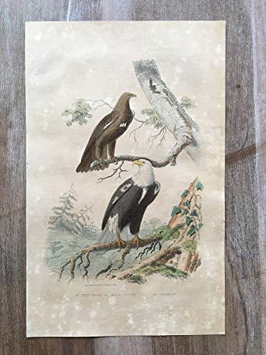 - 1870 Bird Original Antique Engraving, Hand Colored Engraving, Birds Engraving, Bird Art, Antique Bird Print, Antique Spotted Eagle Print Art