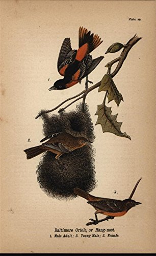 Baltimore Orioles Lithograph - Baltimore Oriole Hang Nest Young Male 1890 antique color lithograph Bird print
