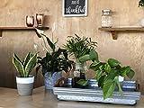Costa Farms Sansevieria Snake Live Indoor