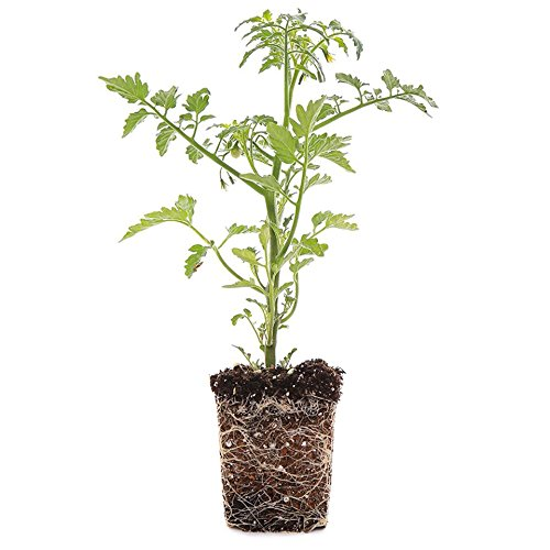 - Plants by Post 4-inch Better Boy Red Tomato Set of 4