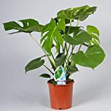Swiss Cheese Plant (Monstera Deliciosa) in 17+cm pot. 60cm tall approx.