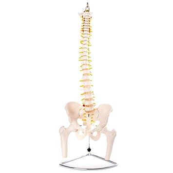 66Fit Modelo anatómico de columna vertebral flexible con pelvis y ...