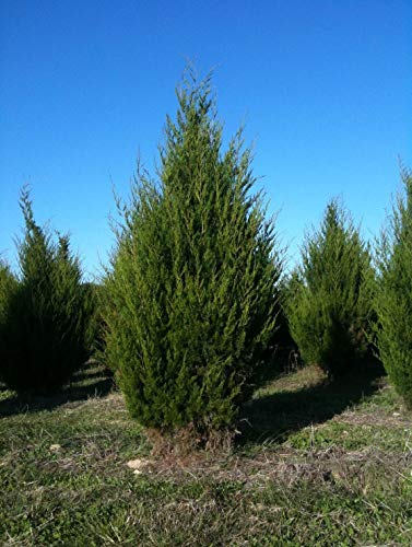 Eastern Red Cedar Established Juniperus Virginiana 12 Plants Roots #GS01 by Gseeds (Image #3)