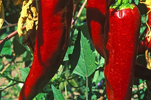 Serrano Vegas Hot Pepper Organic Live Plants (2 Pack) ()