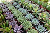 Shop Succulents| Premium Pastel Collection of LiveSucculent Plants, Hand Selected Variety Pack of Mini Succulents | Collection of 20 in 2'' pots