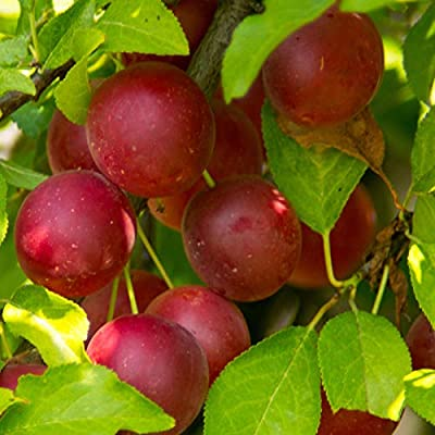 HIGH Germination Seeds:3 cuttings : Red Cherry Plum Tree Seeds, Plants or cuttings