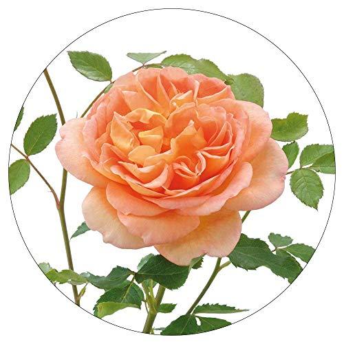 David Austin English Roses Lady of Shallot by David Austin English Roses (Image #3)