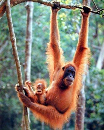 orangutan and baby waving monkey kids room nursery wall decor art print poster 16x20