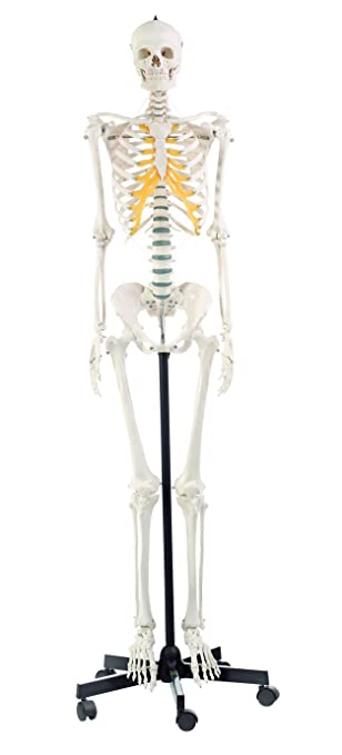 Amazon Somso Artificial Human Skeleton Female Toys Games