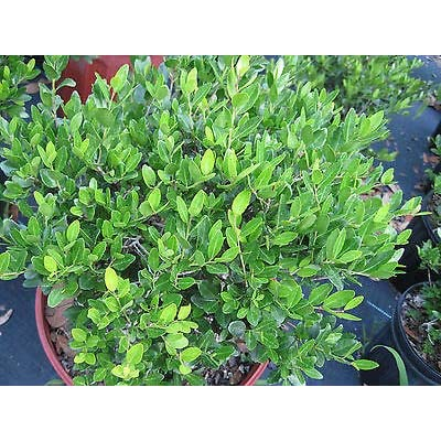 1 Yaupon Holly Schillings 1-Gallon Plant Shrub Rare MHWK65 : Garden & Outdoor