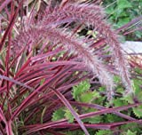 5 Pennisetum ' Fireworks ' Fountain Grass - Live Plants - Bottlebrush Plumes