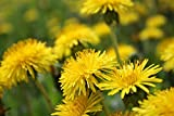 70,000 pcs - Dandelion Flower (Taraxacum officinale) Seeds