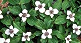 Creeping Dogwood 15 Seeds -Cornus canadensis-Bunchberry