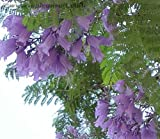 25 BLUE JACARANDA TREE (Fern Tree / Brazilian Rose Wood / Green Ebony) Jacaranda Mimosifolia Seeds