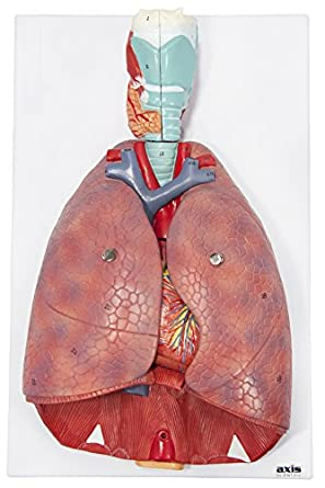 Amazon com: Axis Scientific Human Lung and Respiratory