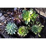 Succulent Plants (20 Pack) Fully Rooted in Planter Pots with Soil | Real Live Potted Succulents / Unique Indoor Cactus Decor by Plants for Pets 16 HAND SELECTED: Every pack of succulents we send is hand-picked. You will receive a unique collection of species that are fully rooted and similar to the product photos. Note that we rotate our nursery stock often, so the exact species we send changes every week. THE EASIEST HOUSE PLANTS: More appealing than artificial plastic or fake faux plants, and care is a cinch. If you think you can't keep houseplants alive, you're wrong; our succulents don't require fertilizer and can be planted in a decorative pot of your choice within seconds. DIY HOME DECOR: The possibilities are only limited by your imagination; display them in a plant holder, a wall mount, a geometric glass vase, or even in a live wreath. Because of their amazingly low care requirements, they can even make the perfect desk centerpiece for your office.