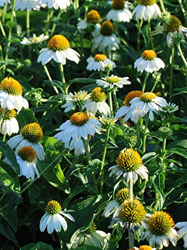 Perennial Farm Marketplace Echinacea p. 'PowWow White' ((Coneflower) Perennial, Size-#1 Container', Snow Colored Flowers (Echinacea Coneflower Plant)
