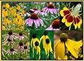 David's Garden Seeds Flower Coneflower Conehead Mix BG112X (Multi) 1000 Heirloom Seeds