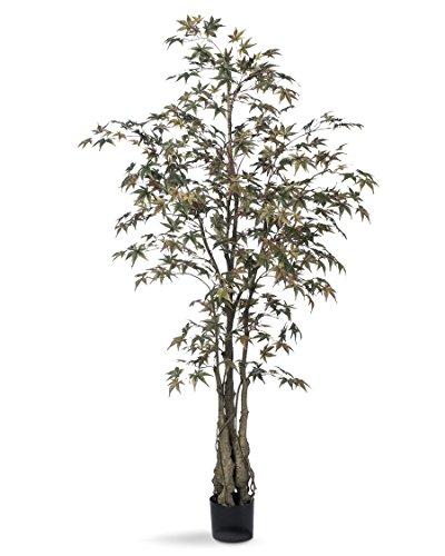 6' Japanese Maple Silk Tree (Maple Silk Tree)