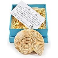 Premium Gift-Boxed Rough Ammonite Fossil