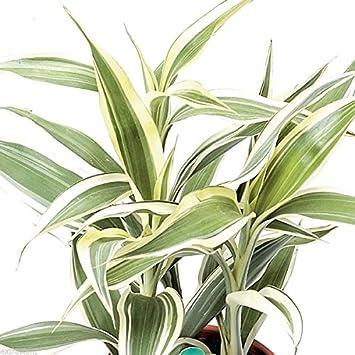 Dracaena Sanderiana plata cinta Lucky bambú planta casa Betta Feng Shui: Amazon.es: Jardín
