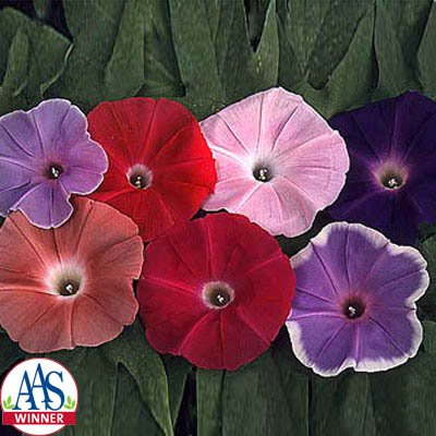 Ipomoea Morning Glory - Morning Glory/Ipomoea Early Call Mix Seeds - Flower Seeds Package - 1/2 oz. Package