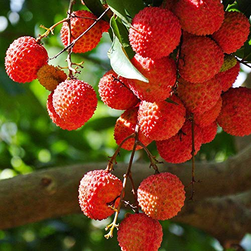 20pcs20pcs New Fruit Fresh Seeds Litchi DIY Garden FLychee Lychy Litchi Seeds