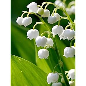 12 Lily of the Valley Hardy Perennial Plants Pips Bulbs with Roots Variable Listing by hiddencreekgardens