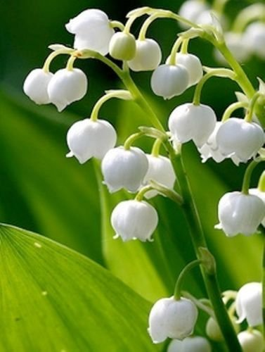 Valley Lily Of The (12 Lily of the Valley Hardy Perennial Plants Pips Bulbs with Roots Variable Listing by hiddencreekgardens)