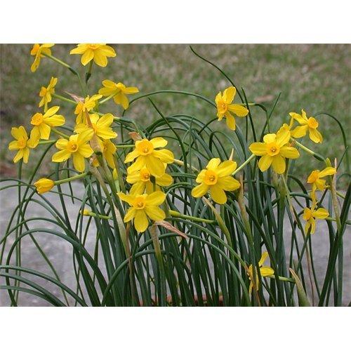 - 10 Bulbs of Daffodil Jonquilla Baby Moon