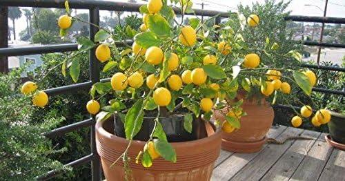 Amazon Com Lemon Tree Seeds 20 Pcs Fruit Tree Bonsai Seeds Garden Outdoor
