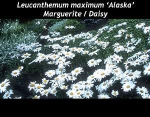 Daisy - Leucanthemum maximum - Alaska