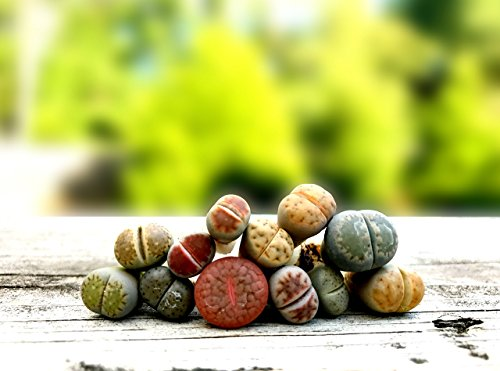 Pack of 4 Live Exotic Lithops Plant Medium Size 2 Years Old Rare Living Stone Seedling Perfect Terrarium Addition For Sale