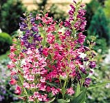 Cambridge Mix Penstemon - 30 Seeds, 200 mg