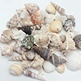 PEPPERLONELY India Natural Sea Shells Mixed, Large, 1 Inch to 4 Inch in Sizes, 1 Pound, Apprx. 40PC Shells