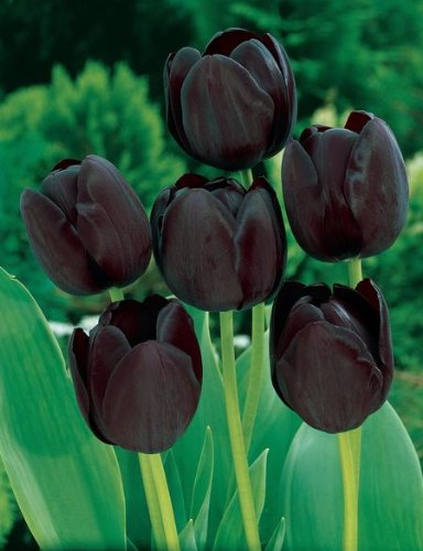 (6 SINGLE LATE TULIP BULBS - QUEEN OF NIGHT - ORDER for FALL PLANTING)