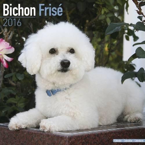 Bichon Frise Calendar - Breed Specific Bichon Frise Calendar - 2016 Wall calendars - Dog Calendars - Monthly Wall Calendar by Avonside