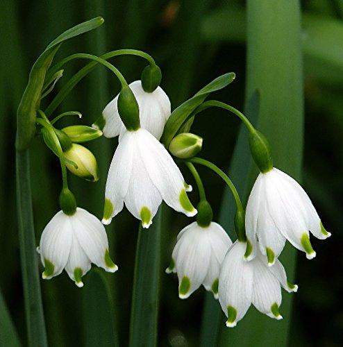 Giant Snowdrops - 10 Bulbs - Leucojum aestivum - 10/12 cm Bulbs