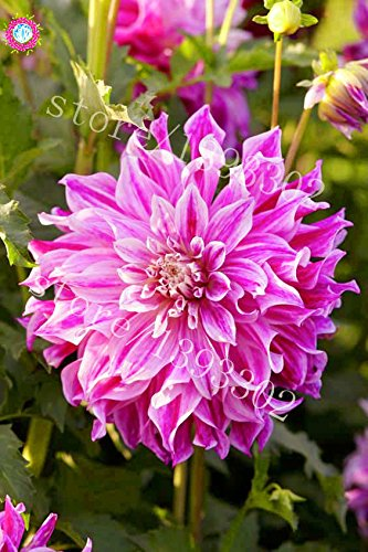 Amazon 100pcs Perennial Flowers Seeds Vary Colors Dahlias
