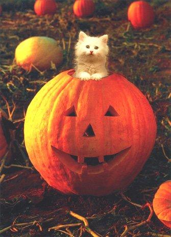 White Kitten in Pumpkin Cat Halloween (Stock Photo Halloween Pumpkins)