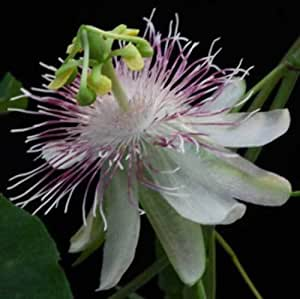 Passiflora resticulata   10_Seeds FREE SHIPPING TO US