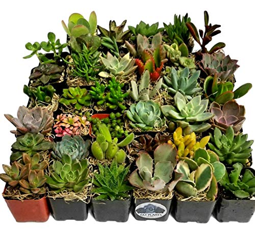 Succulent Plants in Planters with Soil - Living Succulents in 2 Inch Plastic Pots Variety Packages for Cactus and Succulent Decor, Gifts, Showers and Wedding Decorations by Fat Plants San Diego by Fat Plants San Diego (Image #1)