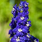 HOT - Pacific Giant - King Arthur - 70 Seeds - Delphinium Cultorum - Perennial Flower
